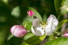 Apple blommor Arkivfoto