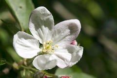 Apple blommor Royaltyfri Foto