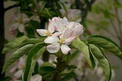Apple blommor Royaltyfria Foton