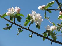 Apple blommor Arkivfoton