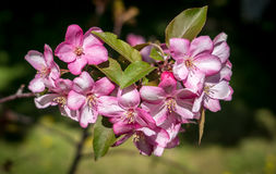 Apple blommor Royaltyfri Fotografi