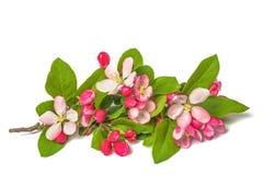 Apple blommor royaltyfri bild