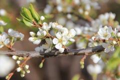 Apple blomning Royaltyfria Bilder