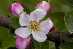 Apple blomning Fotografering för Bildbyråer