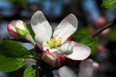 Apple blomning Royaltyfri Bild