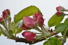 Apple blomning Royaltyfri Fotografi