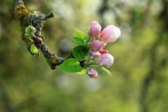 Apple blomning. Arkivfoton