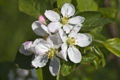 Apple blomning Royaltyfria Foton
