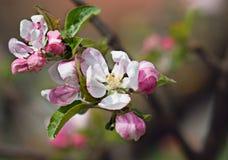 Apple blomning Arkivfoton