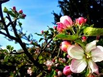 Apple-blomning Royaltyfri Foto