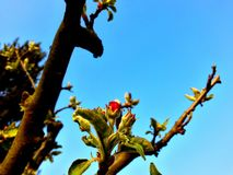 Apple-blomning Arkivfoton