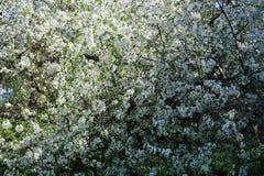 Apple blomning i trädgård royaltyfri fotografi