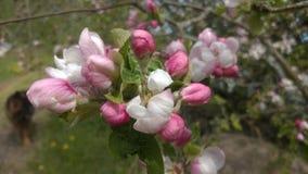 Apple blomning i vår Fotografering för Bildbyråer