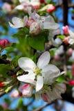 Apple blomning. lodlinje Arkivbild