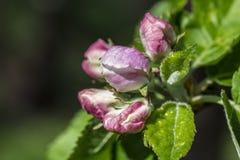 Apple blomning, Malusdomestica som stängs Royaltyfri Foto