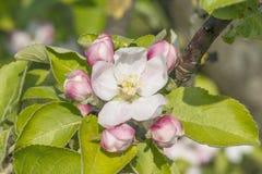 Apple blomning med knoppar Arkivfoton