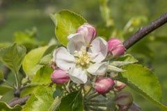 Apple blomning med knoppar Royaltyfri Foto