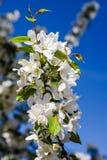 Apple blomning på bakgrunden av blå himmel Royaltyfri Bild
