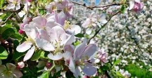 Apple blomning på ett blommande äppleträd Royaltyfria Bilder