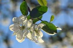 Apple blomning på himmelbakgrund Royaltyfri Bild