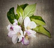 Apple blomning på linne Arkivfoto