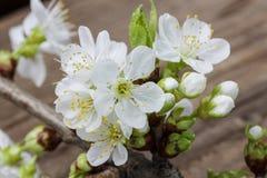 Apple blomning på träbakgrund Royaltyfria Bilder