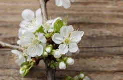 Apple blomning på träbakgrund Fotografering för Bildbyråer