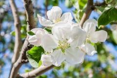 Apple blomning på våren Arkivbilder