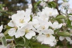 Apple blomning på våren Royaltyfria Bilder