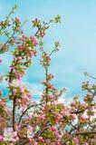 Apple blomningar Royaltyfri Fotografi