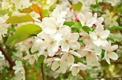 Apple blomningar. fotografering för bildbyråer