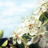 Apple blomningar Royaltyfria Bilder