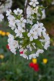 Apple blomningar/blomstrar av ett äppleträd royaltyfri fotografi