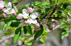 Apple blomningar som pollineras av honungbiet Fotografering för Bildbyråer