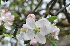 Apple blomningblommor på träd royaltyfria bilder