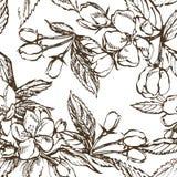 Apple blomningfilial som isoleras på vit Dragen illustration för tappning botanisk hand Vårblommor av äppleträdet Arkivbilder