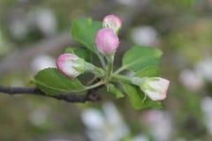 Apple blomningknoppar Royaltyfria Bilder