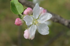 Apple blomningknoppar Royaltyfria Foton