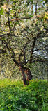 Apple blomningkronblad på gräset fotografering för bildbyråer