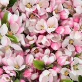 Apple blomningskönhet Fotografering för Bildbyråer