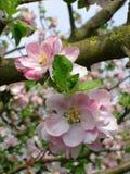 Apple blomningstående arkivfoton