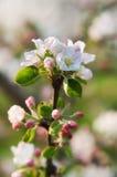 Apple blomstrar i ljuset av solen Arkivfoto
