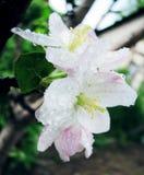 Apple blomstrar i trädgården royaltyfri foto