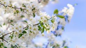 Apple blomstrar på ett grönt gräs 3 för träden-bakgrund Royaltyfri Bild
