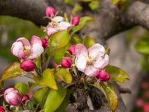 Apple blomstrar på forntida träd arkivbild