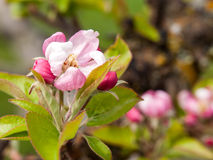 Apple blomstrar på forntida träd royaltyfri fotografi