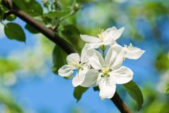 Apple in bloom Royalty Free Stock Photo
