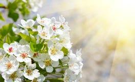 Apple bloom Royalty Free Stock Photo