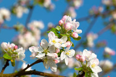 Apple bloom royalty free stock images