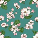 Apple bloom Stock Image